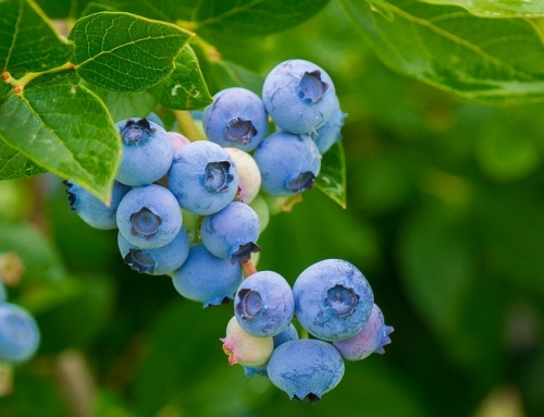 Blueberry Extract for Cholesterol