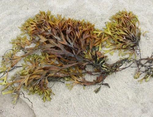 Health Benefits of Algae